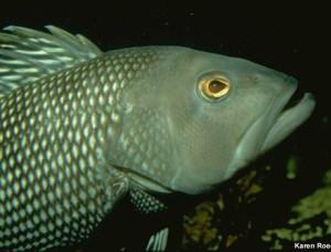 black sea bass Credit: NOAA