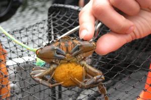 European green crab. Credit: NOAA