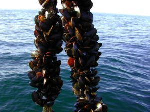 Long-Line-Mussel-Aquaculture_NOAA