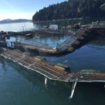 Farmed Salmon Jailbreak Exposes Systemic Industry Flaws