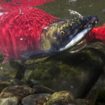 Keeping Salmon Wild